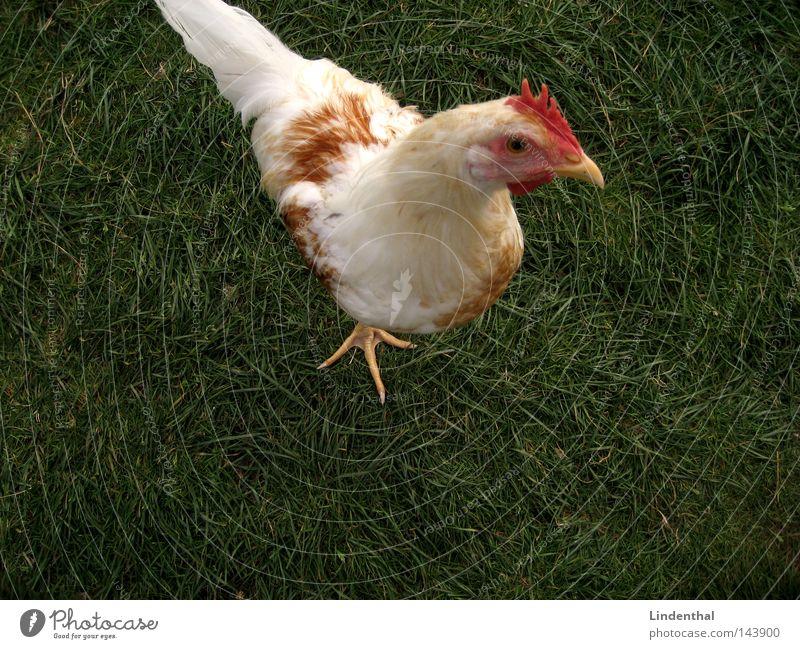 Chicken Hen Grass Green Barn fowl Animal Claw Hello Bird Egg