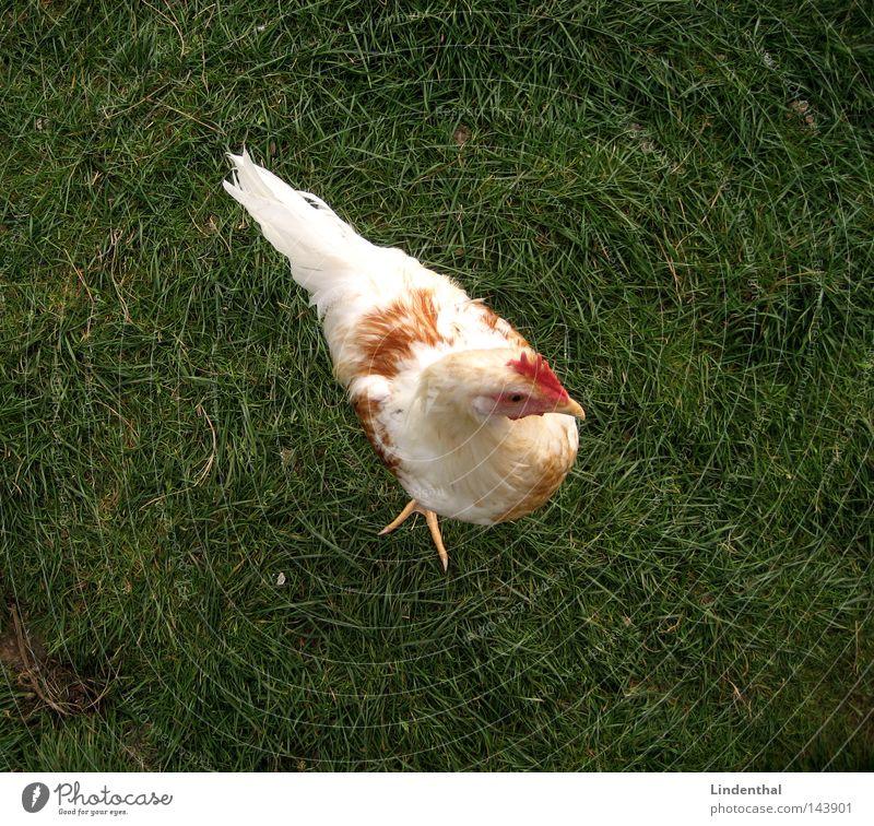 Green Animal Grass Bird Egg Barn fowl Claw Hello