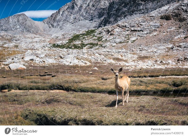 Mule Deer Wellness Harmonious Well-being Vacation & Travel Far-off places Freedom Environment Nature Landscape Animal Elements Mountain Peak Wild animal 1