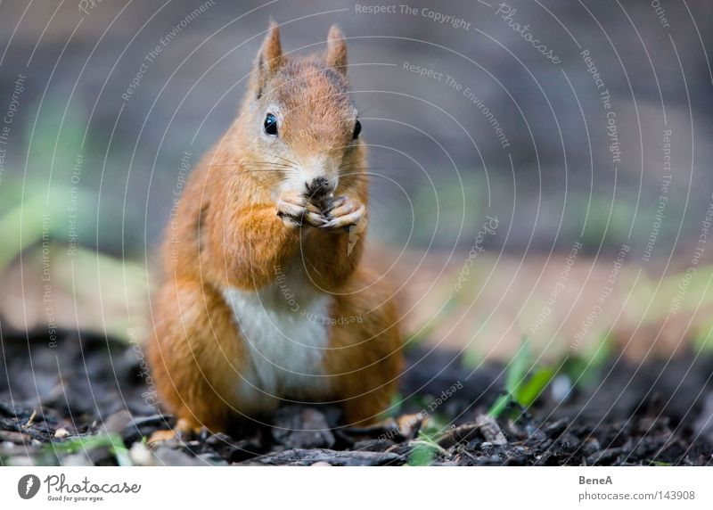 squirrel Squirrel Rodent Orange Brown Pelt Gnaw To feed Nutrition Feed Sit Looking Discover Animal Ground Shadow Nature Mammal Europe sciurus sciurini