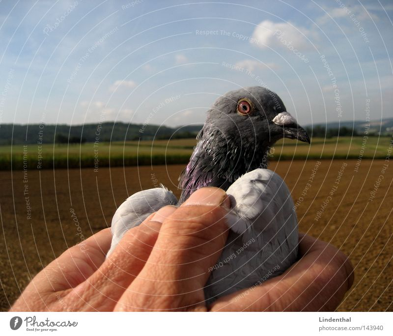 SET HER FREE I Pigeon Hand Captured Set free Fingers To hold on Caress Horizon Homing pigeon Bird Free Flying Freedom Sky Aviation