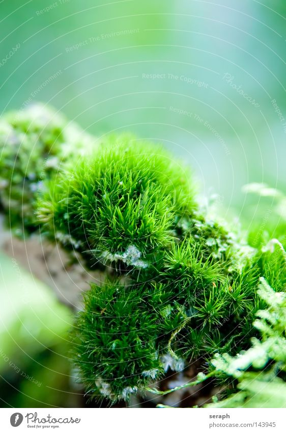 Microcosmos Plant Green Delicate Pattern Background picture Encalypta Leaf Ground cover plant Spore Environment Environmental protection Symbiosis Soft Blur