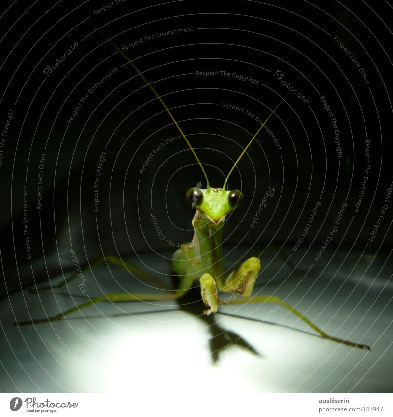 Green Animal Fear Discover Insect Prayer Captured Feeler Amazed Deities Praying mantis
