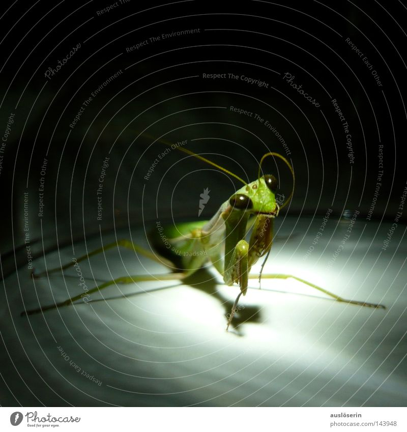 Green Animal Fear Discover Insect Prayer Captured Feeler Amazed Praying mantis