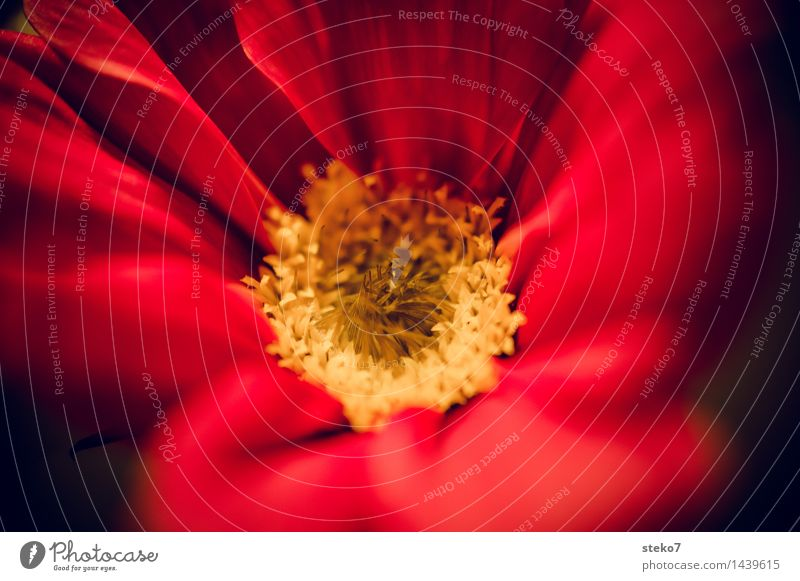 Jewellery basket II Flower Blossom Cosmos Blossoming Near Yellow Red Fragrance Delicate Blossom leave Macro (Extreme close-up) Copy Space right Blur