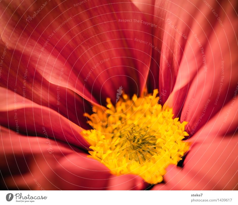 Flower Red Yellow Blossom Blossoming Soft Delicate Fragrance Blossom leave Cosmos