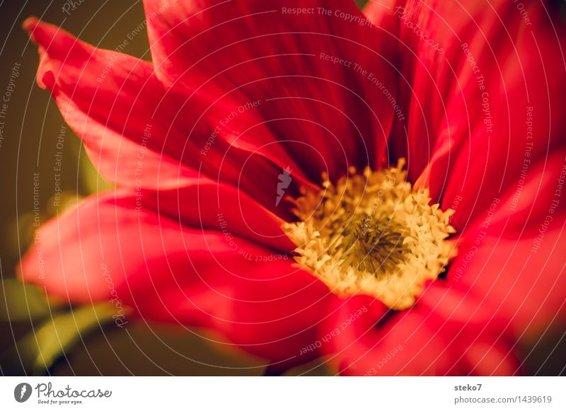 Cosmea Flower Blossom Cosmos Blossoming Fragrance Yellow Red Blossom leave Macro (Extreme close-up) Deserted Copy Space bottom Shallow depth of field