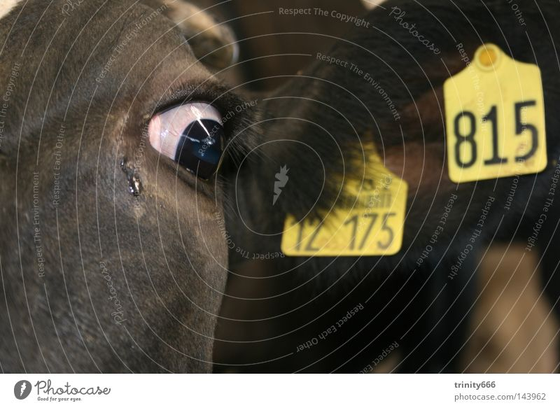 Eyes Dark Grief Ear Digits and numbers Cow Mammal Motionless