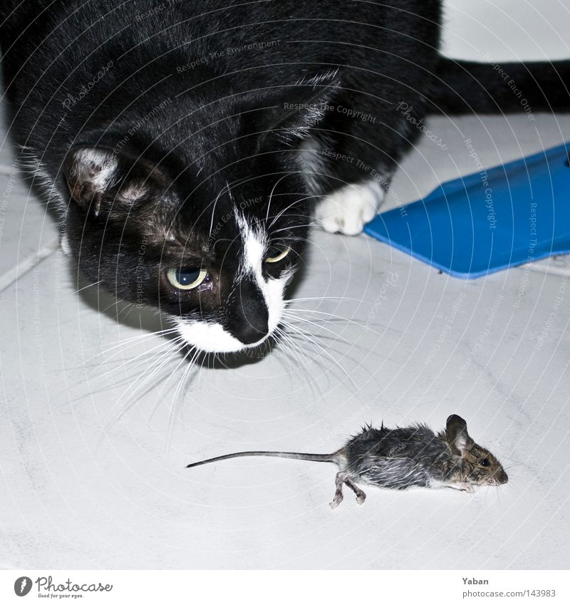 Tom & Jerry Tom Tom Cat Mouse Hunting Prey To feed Death The Grim Reaper Manslaughter Fate Nutrition Food Foraging End Fear Panic Transience Mammal get eaten