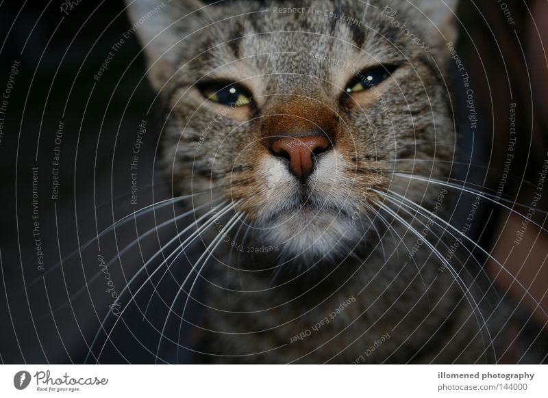 Animal Cat Nose Animal face Pelt Mammal Pet Snout Partially visible Domestic cat Whisker Hung-over Cat eyes Tiger skin pattern Cat's head