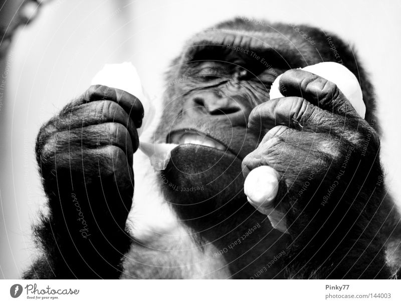 I went to the zoo.. Gorilla Monkeys Animal Zoo Berlin zoo Nutrition Meal Delicious Black White Hand Apes Study or Survey Feed Muzzle Threat Extinct Living thing