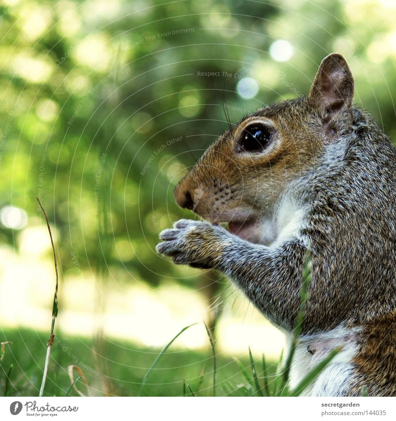 grey croissant Squirrel Park Animal To hold on Possessions Watchfulness Upper body Gray Feeding Tight-fisted Avaricious Speed Green Background picture Desire