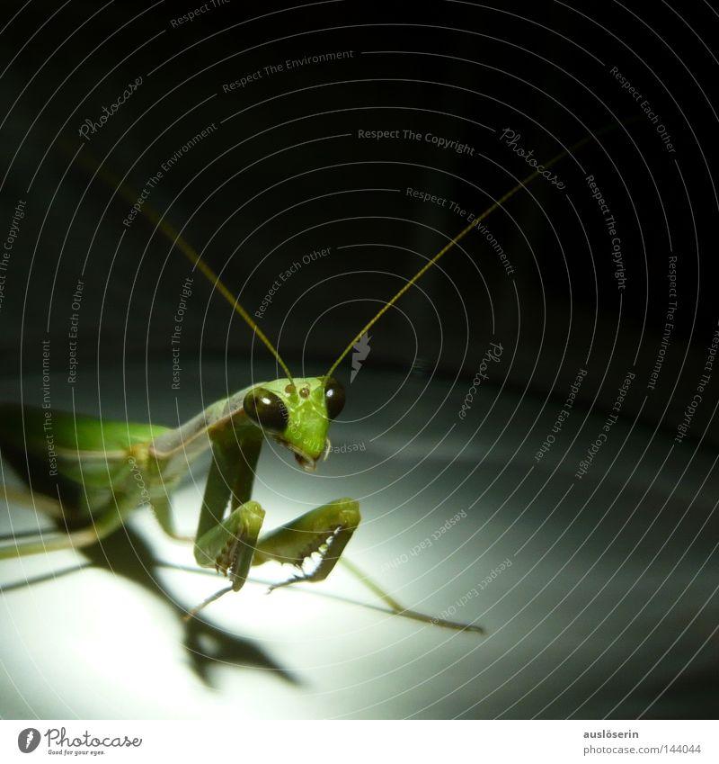 Green Animal Glass Insect Prayer Captured Feeler Praying mantis