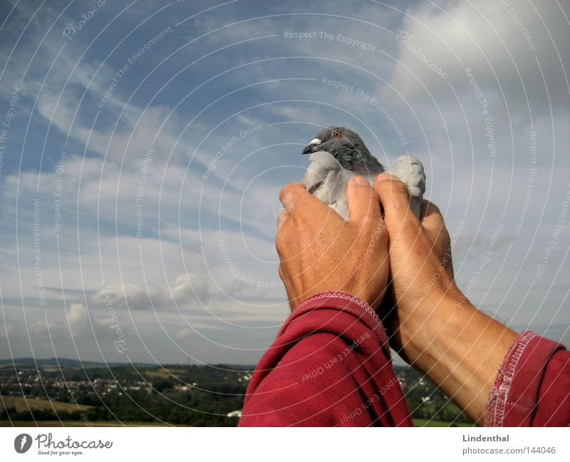 Hand Sky Freedom Bird Flying Horizon Fingers Aviation To hold on Captured Pigeon Caresses Set free Homing pigeon