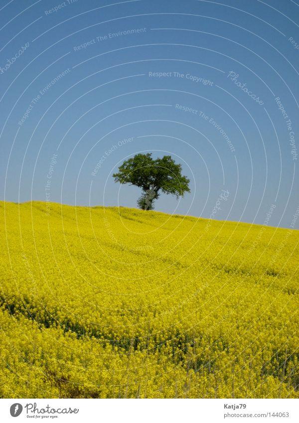 Nature Tree Loneliness Yellow Spring Field Canola Mecklenburg-Western Pomerania