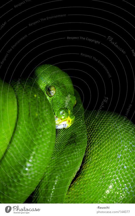 Green Animal Dangerous Threat Zoo Snake Reptiles Green Tree Python