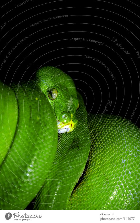 Green tree phyton Green Tree Python Snake Dangerous Zoo Threat on the lookout Animal Reptiles on trees