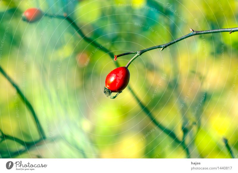 Rosehip, ripe fruit Fruit Jam Alternative medicine Medication Plant Autumn Wild plant Green Red Rose hip Berries Mature Background picture blurred Seasons