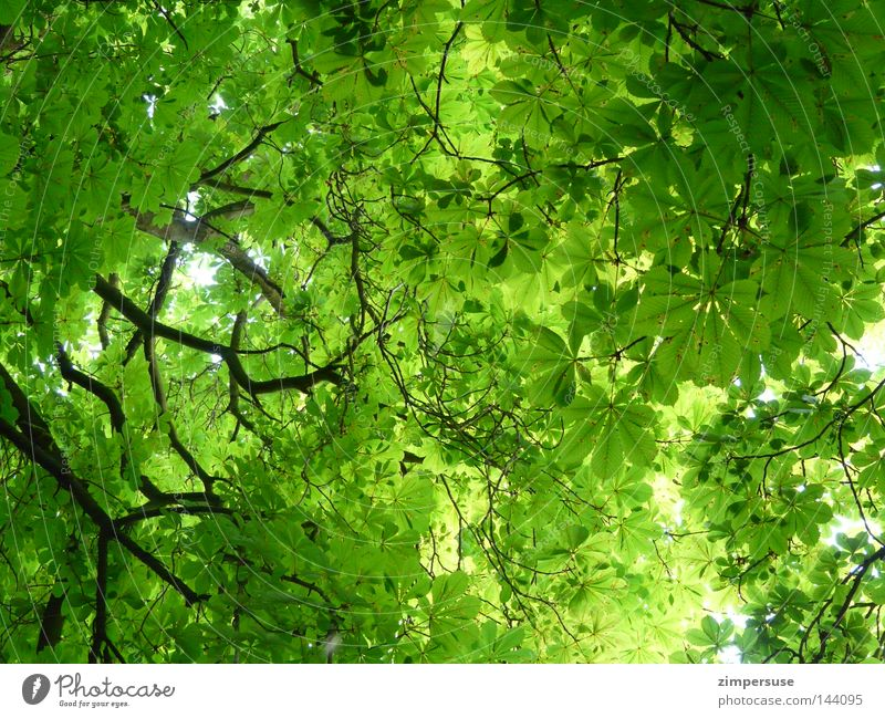 Tree Green Summer Leaf Branch Branchage Chestnut tree Deciduous tree Leaf canopy