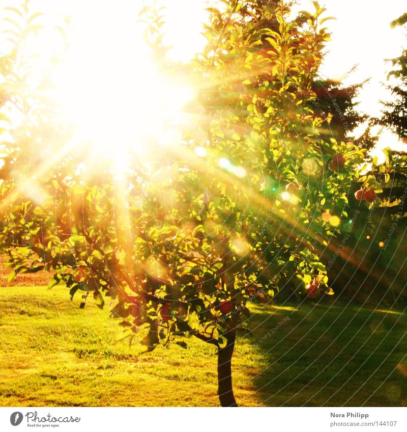 Sun Is Shining Colour photo Exterior shot Day Light Shadow Sunlight Sunbeam Back-light Apple Summer Garden Nature Beautiful weather Warmth Tree Leaf Meadow