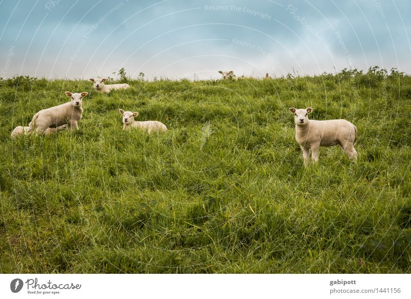 even more sheep to count Environment Nature Landscape Sky Summer Beautiful weather Meadow Hill Animal Pet Farm animal Sheep Lamb Flock Group of animals Herd
