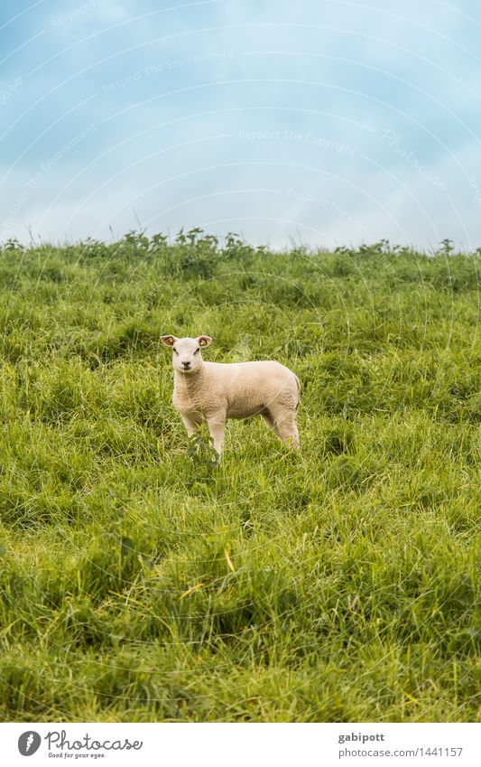 stand idle Environment Nature Landscape Plant Sky Spring Summer Beautiful weather Meadow Field Animal Pet Farm animal Sheep Lamb 1 Walking Stand Happiness Fresh