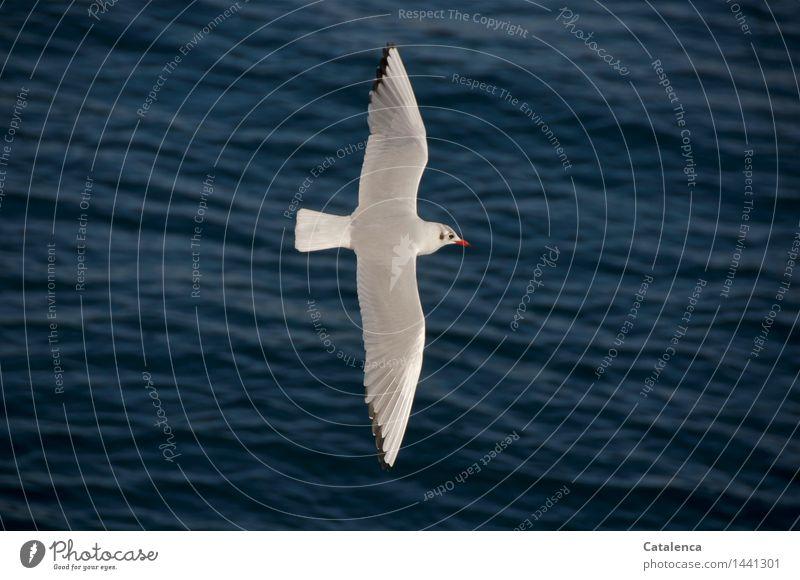 Black-headed Gull in winter dress Ocean Waves Nature Water The Bosphorus Animal Wild animal Bird Seagull 1 Flying Esthetic Free Gray Red White Beautiful Caution