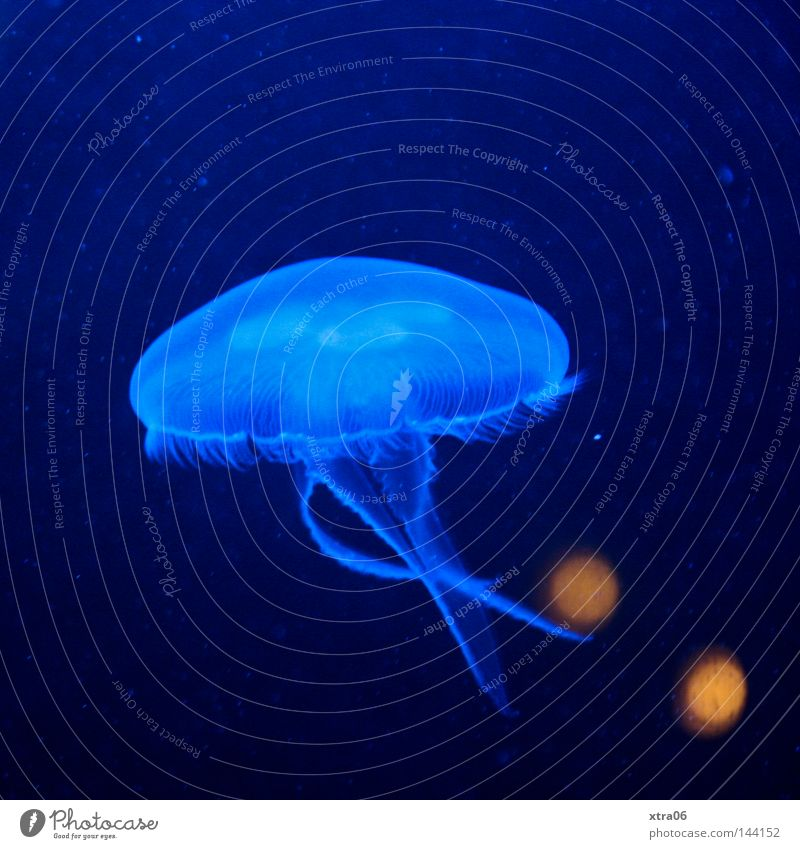 Floating Jellyfish Transparent Blue Water Ocean Living thing Nettle animal Fish sea dweller