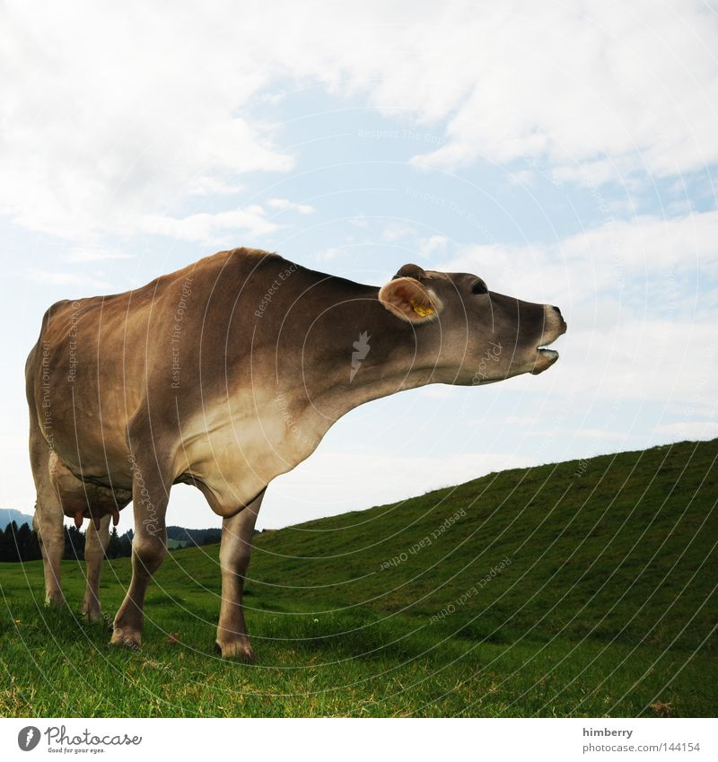 Animal Meadow Mountain Legs Germany Field Ear Pelt Hill Pasture Agriculture Cow Cattle Organic produce Bavaria Willow-tree