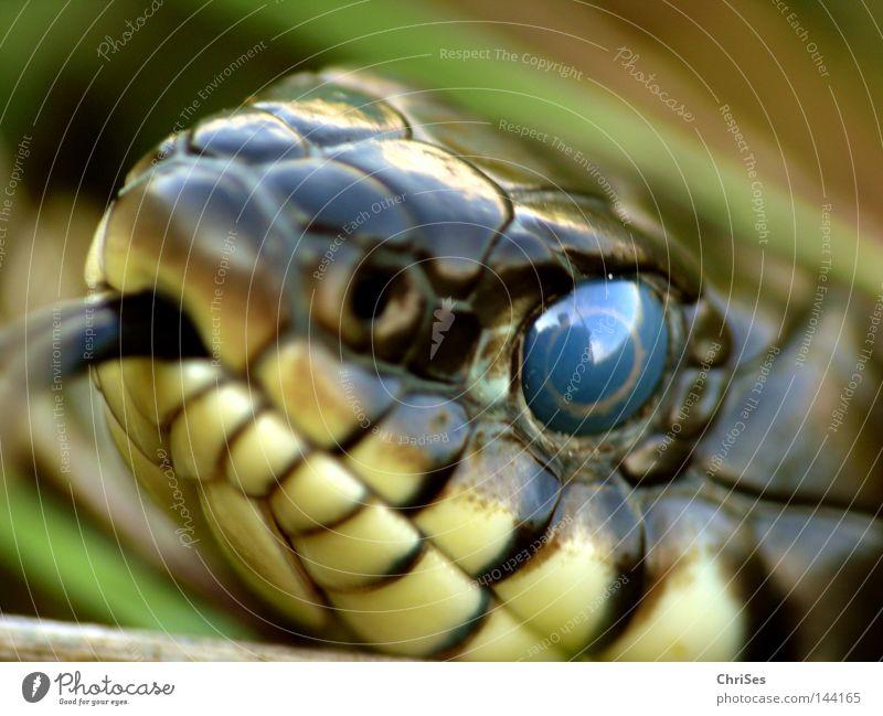 Animal Eyes Reptiles Animal face Tongue Snake Pupil Macro (Extreme close-up) Seldom Viper Ring-snake Flicker the tongue