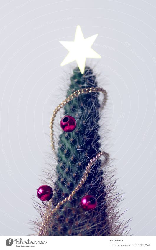 Christmas cactus Design Feasts & Celebrations Christmas & Advent Environment Nature Plant Winter Climate change Weather Cactus Foliage plant Pot plant