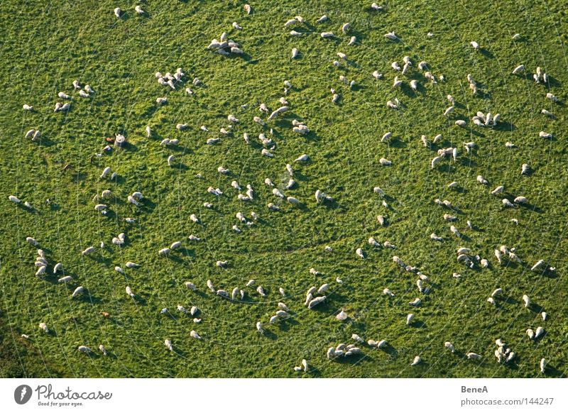 Nature Green White Animal Landscape Meadow Grass Aerial photograph Work and employment Field Food Nutrition Agriculture Sheep Bird's-eye view Economy