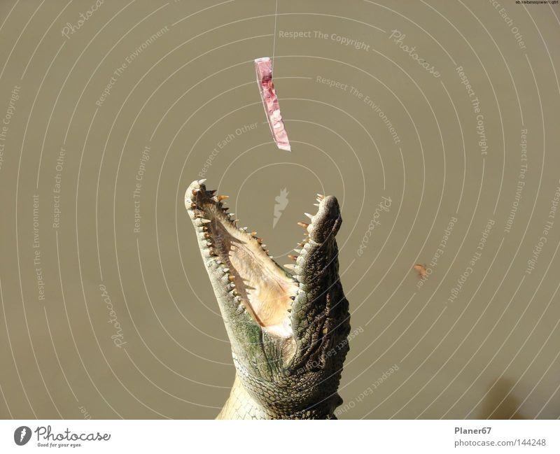 Nutrition Dangerous Reptiles Appetite Meat To feed Australia Saurians Feeding Avaricious Animal Voracious Crocodile Alligator