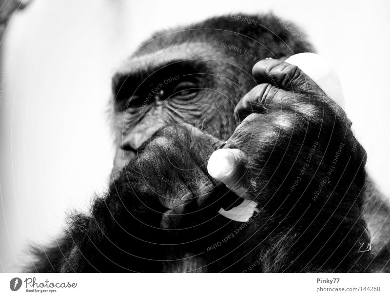 I went to the zoo .. SECOND Animal Monkeys Gorilla Looking Eyes Zoo Berlin zoo Captured Hand Gesture Nutrition Black White Mammal Black & white photo