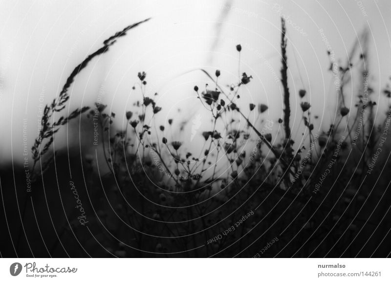 Dream in Grey Nature Analog Black White Evening Moody Grass Blossom Sky Gray Classic Field Lanes & trails Courtyard Territory Overgrown Virgin forest Closed Lie