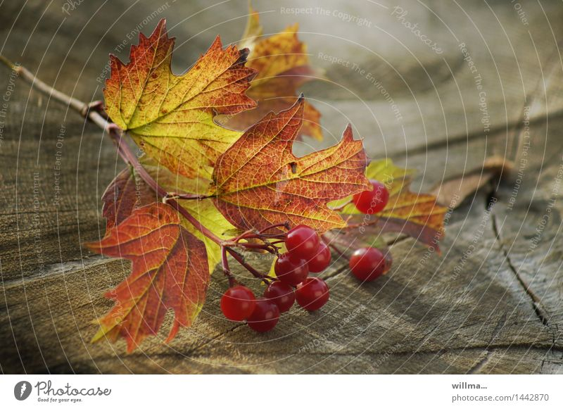 branch office | Helgiland Autumn Guelder rose Leaf Autumnal Berries Berry bushes Twig Autumnal colours Tree stump Wood Green Red Still Life Nature Colour photo