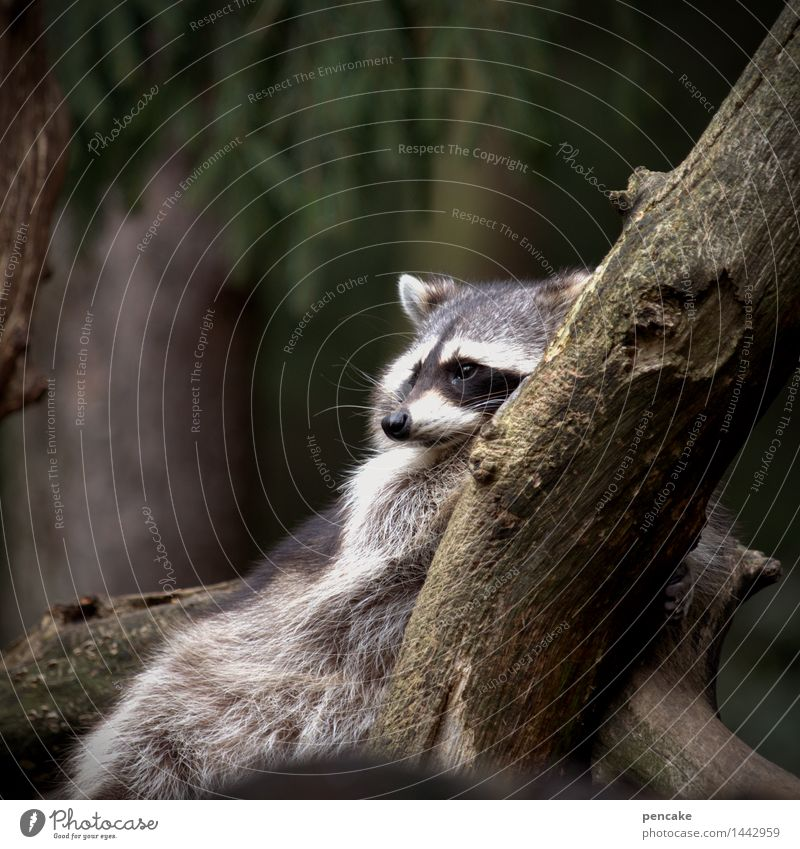 Tree Animal Lie Wild animal Authentic Branch Fatigue Restful Raccoon