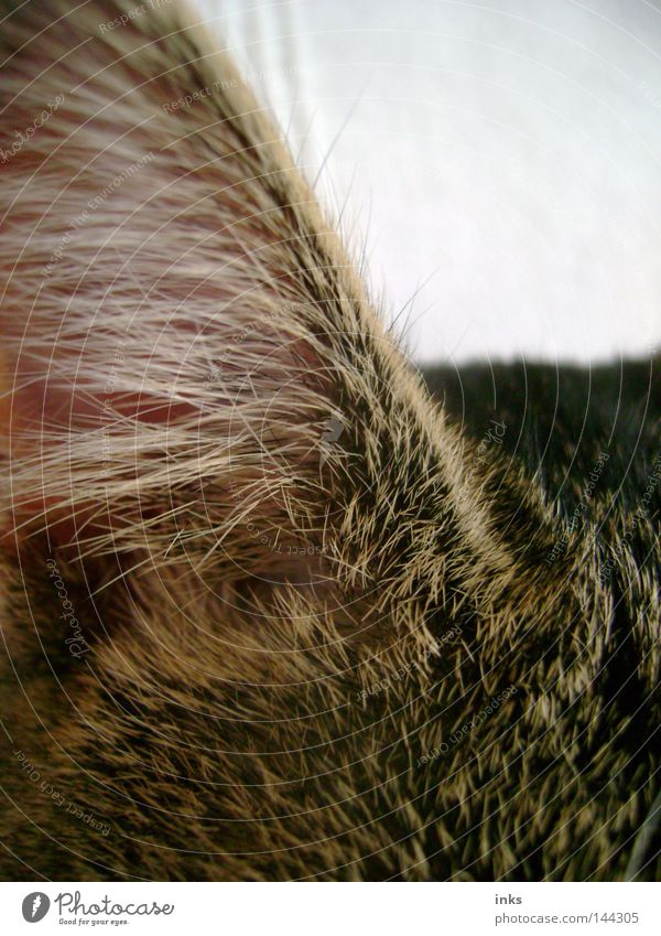 sense of hearing Cat Animal Listening Pelt Gray Brown Mammal Domestic cat Ear Hair and hairstyles