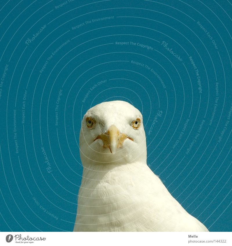 Blue White Animal Eyes Head Bird Animal face Middle Direct Seagull Beak Frontal Silvery gull