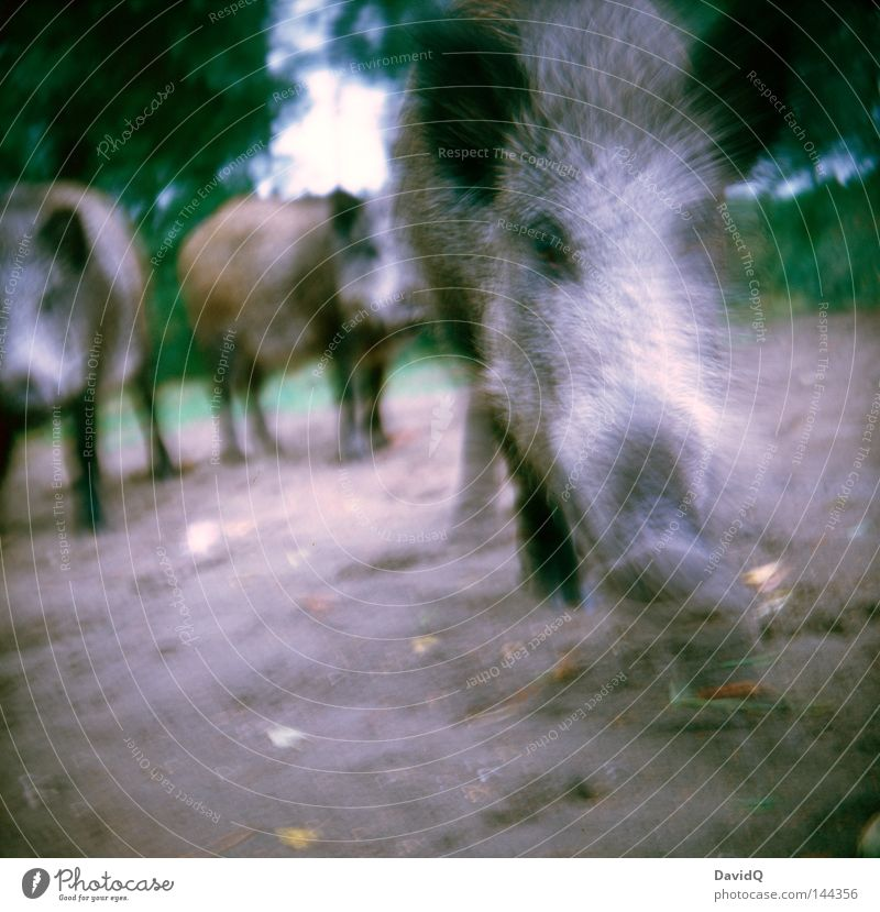 Animal Forest Meadow Power Walking Force Running Near Contact Wild animal Escape To feed Mammal Swine Social Feed