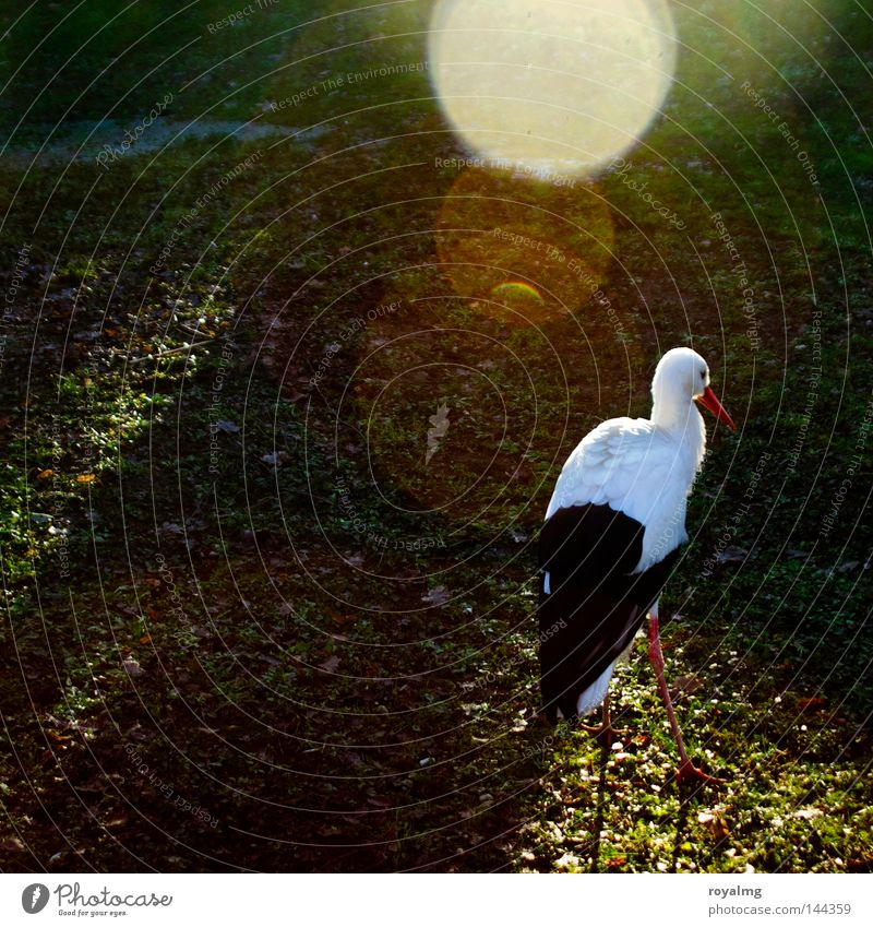 White Animal Black Bird Feather Zoo Fairy tale Dazzle Stork