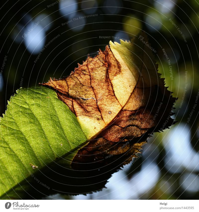 metamorphic Environment Nature Plant Autumn Beautiful weather Leaf Rachis Autumn leaves Forest Old Illuminate To dry up Authentic Exceptional Uniqueness Natural