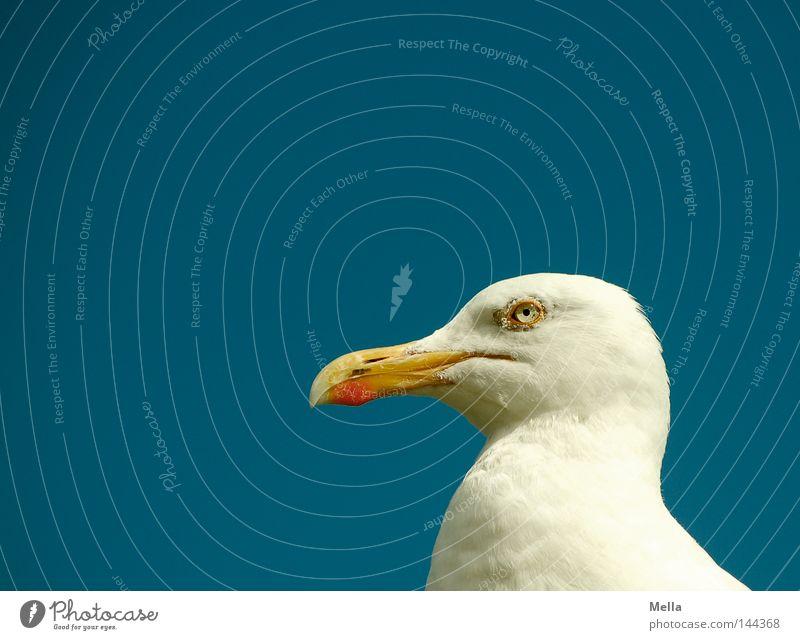 Sky Blue White Animal Eyes Head Bird Curiosity Seagull Beak Demanding Ferocious Silvery gull