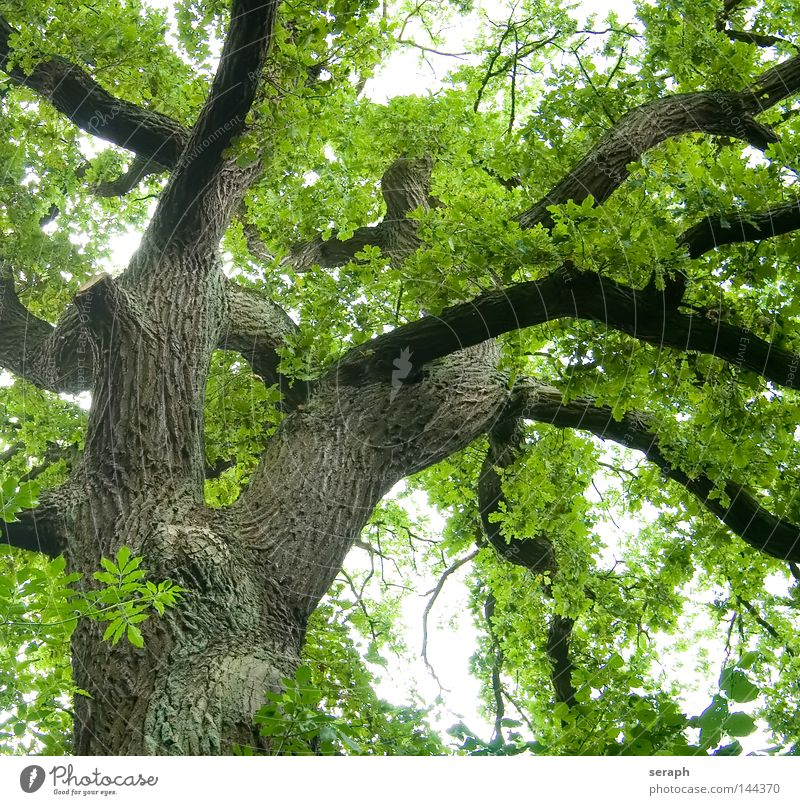Green Network Oak tree Treetop Leaf canopy Tree trunk Tree bark Colossus Growth Leaf green Spring Branch Branchage Section of image Partially visible Detail