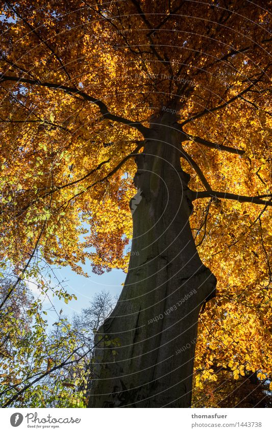 autumn, tree, golden leaves Vacation & Travel Trip Forestry Nature Animal Sky Sun Autumn Beautiful weather Tree Park Old Esthetic Firm Large Tall Blue Brown