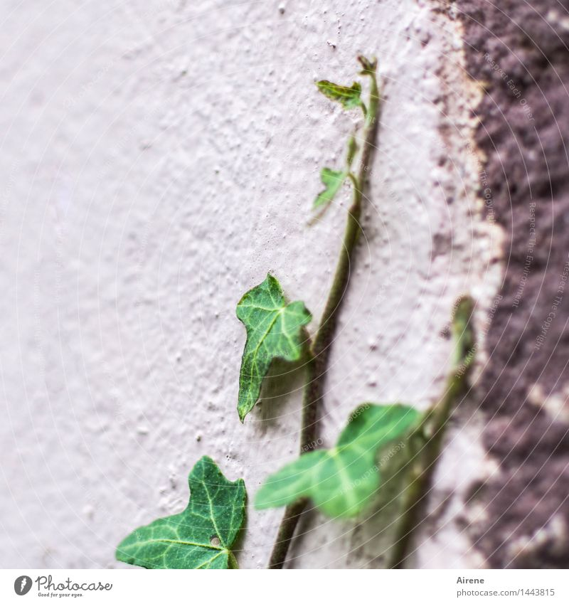 aspiring Plant Leaf Ivy Creeper Tendril Shoot Wall (barrier) Wall (building) Facade Stone Concrete Growth Simple Green Pink Willpower Brave Determination Effort