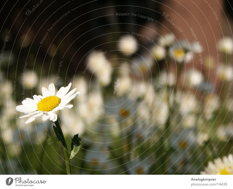 White Flower Summer Yellow Meadow Blossom Daisy