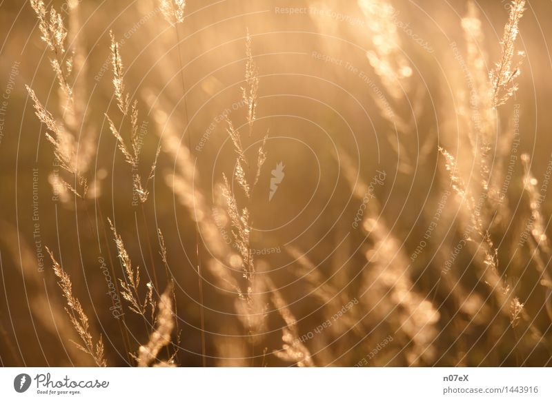 Grasses against the light Well-being Relaxation Calm Nature Plant Sunlight Summer Beautiful weather Wild plant Breathe Fragrance Fitness To enjoy Authentic