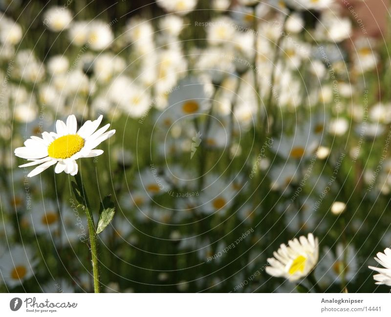 White Sun Summer Yellow Meadow Blossom Daisy Flower
