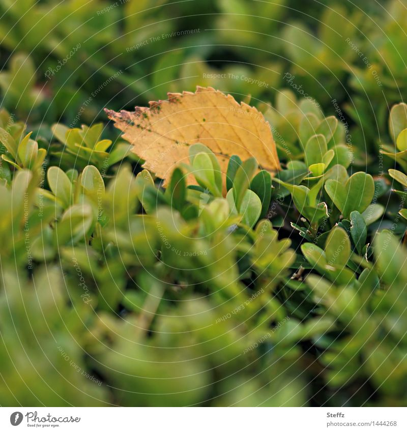 softly landed Environment Nature Plant Autumn Leaf Hedge Autumn leaves Garden To fall Natural Beautiful Yellow Green Sense of Autumn November mood Transience